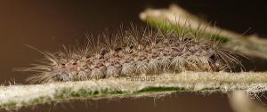 Calyciphora adamas