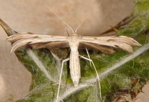 Calyciphora albodactylus 06 1