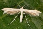 Calyciphora albodactylus 66 1