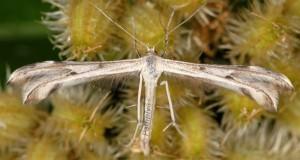 Calyciphora nephelodactyla 06 3