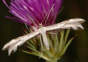 Calyciphora nephelodactyla