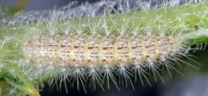Calyciphora nephelodactyla L5 06 1