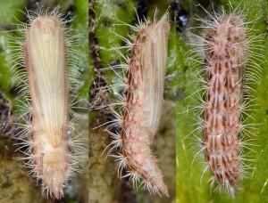 Calyciphora nephelodactyla chrysalide 06 1