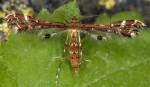 Capperia britanniodactylus 66 1