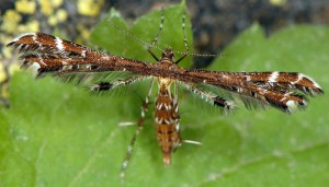 Capperia britanniodactylus 66 2