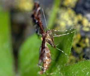 Capperia britanniodactylus 66 4