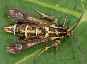 Chamaesphecia bibioniformis 34 3