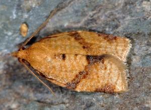 Clepsis consimilana 06 1