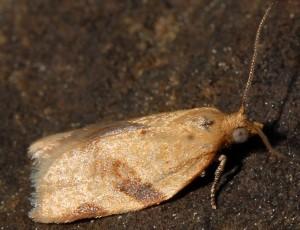 Clepsis consimilana 66 1