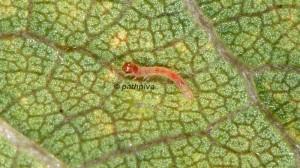Clepsis consimilana L1 06 3