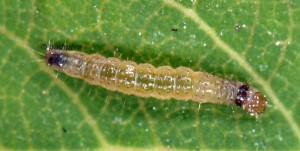 Clepsis consimilana L2 06 5