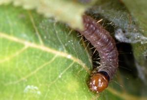 Clepsis consimilana L3 06 6