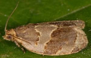 Clepsis dumicolana 06 1