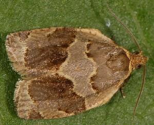 Clepsis dumicolana 06 2