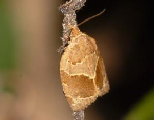 Clepsis dumicolana 06 3