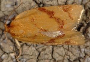 Clepsis pallidana 13 2