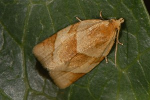 Clepsis rurinana 06 1