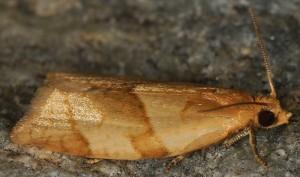 Clepsis rurinana