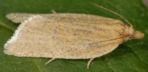 Clepsis senecionana femelle 66 1