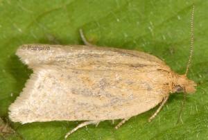 Clepsis senecionana femelle 66 2