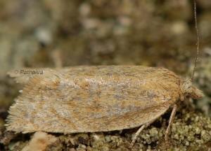 Clepsis senecionana femelle 66 3