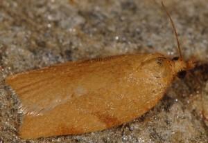 Clepsis siciliana femelle 66