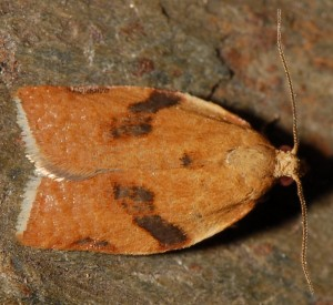 Clepsis siciliana mâle 66 1