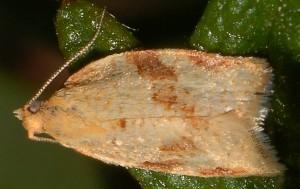 Clepsis siciliana mâle 66 2