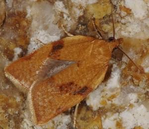 Clepsis siciliana mâle 66 3