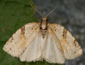 Clepsis spectrana 73 3