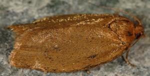 Clepsis unicolorana 13