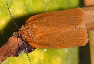 Clepsis unicolorana 34 2