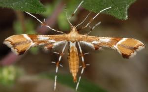 Cnaemidophorus rhododactyla 06 1