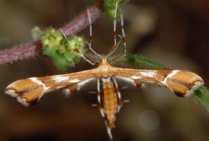 Cnaemidophorus rhododactyla 06 2