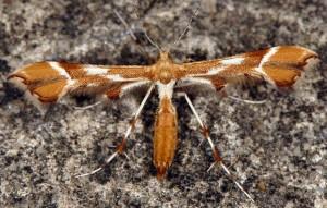 Cnaemidophorus rhododactyla 06 3