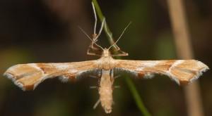 Cnaemidophorus rhododactyla 06 4