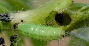 Cnaemidophorus rhododactyla L4 83 2