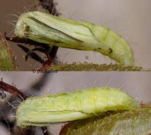 Cnaemidophorus rhododactyla chrysalide 06 1