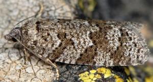 Cnephasia alticolana 06 1