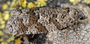Cnephasia alticolana 06 2