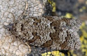 Cnephasia alticolana 06 3