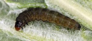 Cnephasia alticolana L5 06 3