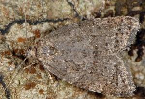 Cnephasia asseclana 1