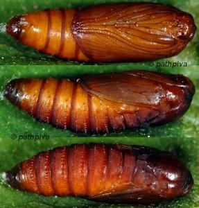 Cnephasia asseclana chrysalide 43 1