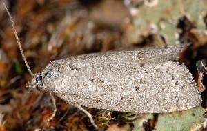 Cnephasia bizensis 13 1