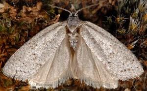 Cnephasia bizensis 13 2