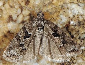 Cnephasia cupressivorana 06 1