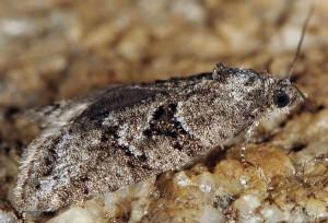 Cnephasia cupressivorana 06 2