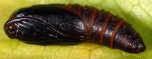 Cnephasia cupressivorana chrysalide 06 1