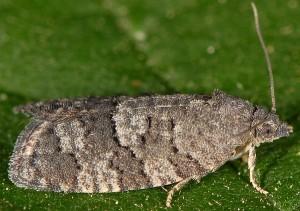 Cnephasia ecullyana 06 1